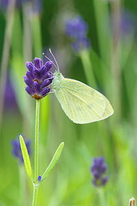 Small White / Cabbage white butterfly (Pieris rapae) on Lavender, Sheffield, UK July (Focus-stacked image)  -  Chris Mattison