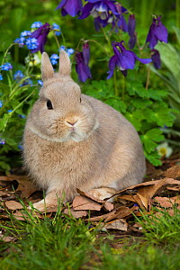 RF - Netherland dwarf baby in Forget-me-nots and Blue columbine. East Haven, Connecticut, USA. (This image may be licensed either as rights managed or royalty free.)  -  LYNN M. STONE