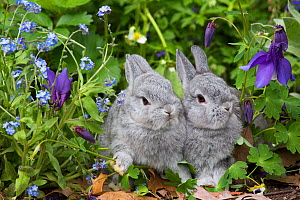 RF - Baby Netherland dwarf rabbits in spring garden of Forget-Me-Nots and Blue Columbine. East Haven, Connecticut, USA. (This image may be licensed either as rights managed or royalty free.)  -  LYNN M. STONE