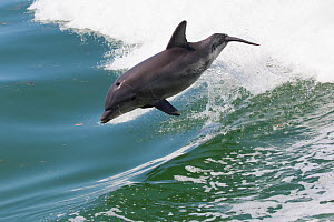 RF - Atlantic bottlenose dolphin (Tursiops truncatus) leaping, wild and natural. Boca Ciega Bay (part of Tampa Bay), Florida, USA. (This image may be licensed either as rights managed or royalty free....  -  LYNN M. STONE