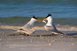 RF - Royal tern (Thalasseus maxima)  offering fish to female as part of courtship. Mullet Key, St Petersburg. Florida, USA. (This image may be licensed either as rights managed or royalty free.)  -  LYNN M. STONE