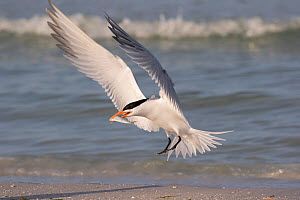 RF - Royal tern (Thalasseus maximus) with fish, landing on beach. Mullet Key, St Petersburg. Florida, USA. (This image may be licensed either as rights managed or royalty free.)  -  LYNN M. STONE