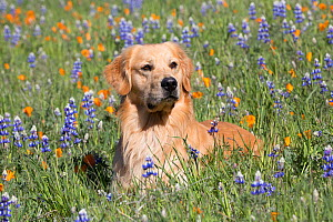 RF - Male Golden retriever in Lupine and California poppies. Las Padres National Forest, Los Olivos, California, USA. (This image may be licensed either as rights managed or royalty free.) - LYNN M. STONE