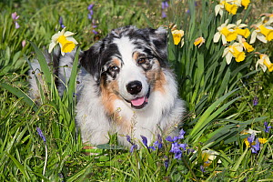RF - Australian shepherd in spring flowers. Waterford, Connecticut, USA. (This image may be licensed either as rights managed or royalty free.) - LYNN M. STONE