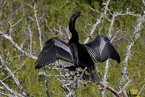 RF - Anhinga (Anhinga anhinga) on dead,  lichen-encrusted branch, drying wings. Merritt Island National Wildlife Refuge, Merritt Island, Florida. (This image may be licensed either as rights managed o... - LYNN M. STONE