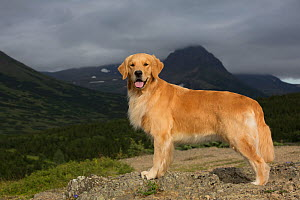 RF - Female Golden retriever standing on mountain ledge. Chugach State Park, Anchorage, Alaska, USA. (This image may be licensed either as rights managed or royalty free.) - LYNN M. STONE