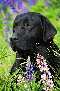RF - Black Labrador retriever and Lupin flowers. Round Pond, Maine, USA. (This image may be licensed either as rights managed or royalty free.) - LYNN M. STONE