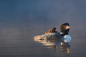 RF - Common loon (Gavia immer) with chick on back at dawn, late June. Enfield, New Hampshire, USA. (This image may be licensed either as rights managed or royalty free.)  -  LYNN M. STONE
