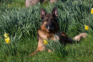 German Shepherd dog lying among daffodils, USA.  -  Lynn M. Stone