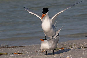 Pair of Royal terns (Thalasseus maximus) on beach displaying mating behaviour. Mullet Key, St. Petersburg, Florida, USA.  -  Lynn M. Stone