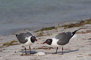 Pair of Laughing gulls (Leucophaeus atricilla) feeding on dead fish. Mullet Key, Tampa Bay, St. Petersburg, Florida.  -  Lynn M. Stone