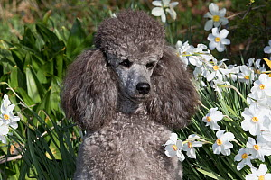 Miniature Poodle sitting in garden, USA. - Lynn M. Stone