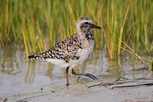 Black-bellied plover (Pluvialis squatarola), moulting into breeding plumage, at edge of salt marsh. Mullet Key, St. Petersburg, Florida, USA.  -  Lynn M. Stone