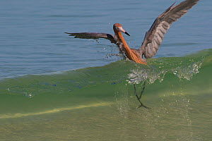 Reddish egret (Egretta rufescens) caught by a breaking wave while chasing small fish, in characteristic open-swing stance. Mullet Key, Tampa Bay, St. Petersburg, Florida, USA. - Lynn M. Stone