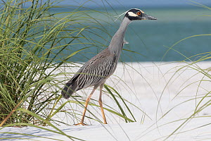 Yellow-crowned night heron (Nyctanassa violacea) stalking ghost crabs on sand dune. Mullet Key, Tampa Bay, St, Petersburg, Florida, USA.  -  Lynn M. Stone