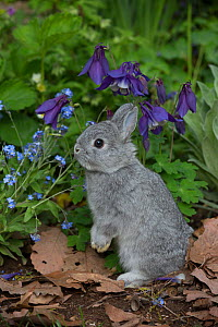 Baby Netherland Dwarf rabbit standing in spring garden, beside forget-me-nots and blue columbine, USA. - Lynn M. Stone
