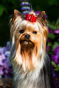 Yorkshire terrier dog with long hair in show condition, standing in garden, USA.  -  Lynn M. Stone
