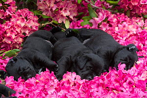 Three black labrador retriever pups, age five weeks, sleeping in rhododendron flowers, USA. - Lynn M. Stone
