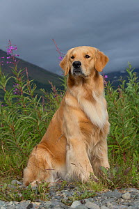 Golden Retriever bitch sitting, USA. - Lynn M. Stone