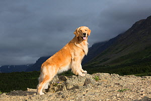 Golden Retriever bitch on mountain ledge, Alaska, USA. - Lynn M. Stone