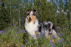 Rough Collie bitch in summer meadow, USA. - Lynn M. Stone