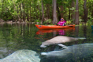 Woman kayaker taking photos of West Indian Manatees (Trichechus manatus latirostris) in spring-fed Ichetucknee River. Ichetucknee River State Park, Fort White, Florida, USA. Model released - Lynn M. Stone
