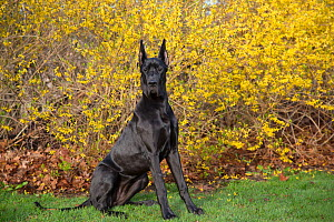 Great dane bitch, with ears cropped, sitting in front of garden Forsythia, USA. - Lynn M. Stone