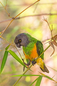 RF - Senegal parrot (Poicephalus senegalus) feeding on leaves. Gambia, Africa. April 2016. (This image may be licensed either as rights managed or royalty free.)  -  David  Pattyn