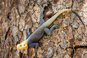 RF - Agama lizard (Agama agama) male. Red Headed Rock. Common species of Gambia in full color typical in months of April and May (just before the rainy season). Gambia, Africa. April 2016. (This image...  -  David  Pattyn