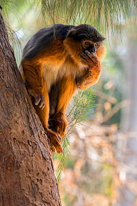 RF - Western red colobus (Procolobus badius) portrait of an adult male. Gambia, Africa. May 2016. (This image may be licensed either as rights managed or royalty free.) - David  Pattyn
