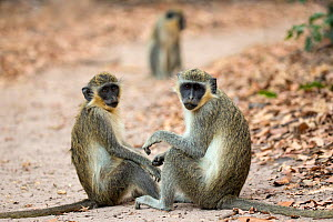 RF - Green Monkey / Callithrix Monkey (Chlorocebus sabaeus) on a forest trail. Bijilo Forest Park, Kololi, Serrekunda, Gambia, Africa. May 2016. (This image may be licensed either as rights managed or... - David  Pattyn