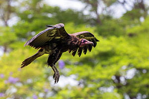 RF - Hooded vulture (Necrosyrtes monachus) in flight Gambia, Africa. May 2016. (This image may be licensed either as rights managed or royalty free.)  -  David  Pattyn