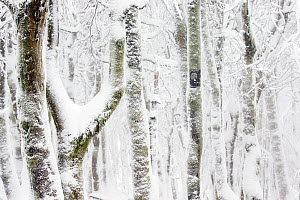 RF - European / Common beech tree (Fagus sylvatica) trees covered in snow. Hohneck, Vosges, France. January. (This image may be licensed either as rights managed or royalty free.)  -  David  Pattyn