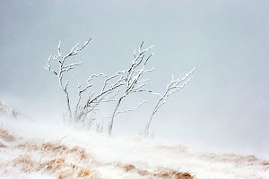 RF - Branches of shrub covered in ice and frost during snowfall with heavy wind. Hohneck mountain, Vosges, France. January. (This image may be licensed either as rights managed or royalty free.) - David  Pattyn