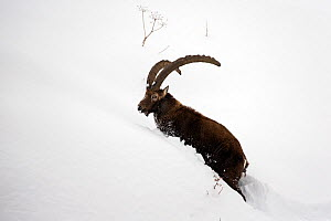 RF - Alpine ibex (Capra ibex) male in deep snow  Gran Paradiso National Park, the Alps, Italy.  January (This image may be licensed either as rights managed or royalty free.)  -  David  Pattyn