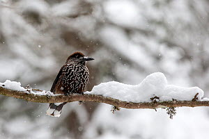 RF - Nutcracker (Nucifraga caryocatactes) on a snow covered branch in a tree. Crans Montana, the Alps, Wallis, Switzerland. February. (This image may be licensed either as rights managed or royalty fr... - David  Pattyn