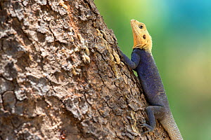 Agama lizard (Agama agama) male. Red Headed Rock agama (?), A rather common species in the Gambia and photographed in full color typical in the months of april and may (just before the rainy season),...  -  David  Pattyn