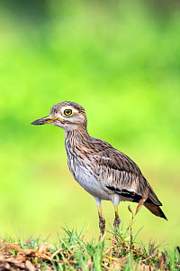 Senegal thick-knee (Burhinus senegalensis) Stone curlew, Gambia, Africa, May. - David  Pattyn