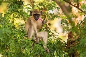 Green monkey  (Chlorocebus sabaeus) youngster chewing on plastic, Gambia, Africa, May. - David  Pattyn