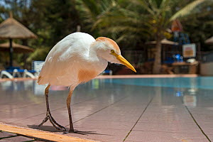Cattle egret (Bubulcus ibis) at the edge of swimming pool in a tourist resort, Gambia, Africa, May. - David  Pattyn