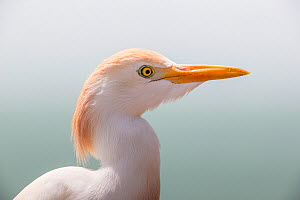 Cattle egret (Bubulcus ibis) close-up portrait, Gambia, Africa, May. - David  Pattyn