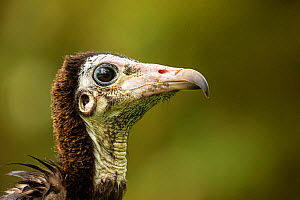 Hooded vulture (Necrosyrtes monachus) close-up portrait, Gambia, Africa, May.  -  David  Pattyn