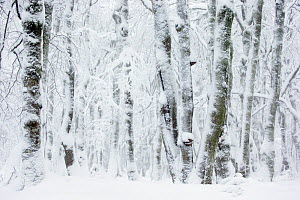 Pollarded European / Common beech tree (Fagus sylvatica) trees covered in snow, Hohneck, Vosges, France, January  -  David  Pattyn