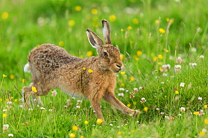 RF - Brown Hare (Lepus europaeus) adult stretching, in summer meadow. Scotland, UK. June. (This image may be licensed either as rights managed or royalty free.) - Mark Hamblin