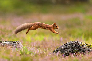 RF - Red Squirrel (Sciurus vulgaris)  in summer coat leaping between fallen logs Scotland, UK. September. (This image may be licensed either as rights managed or royalty free.) - Mark Hamblin