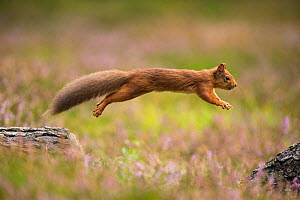 RF - Red Squirrel (Sciurus vulgaris) in summer coat leaping between fallen logs. Scotland, UK. September. (This image may be licensed either as rights managed or royalty free.) - Mark Hamblin