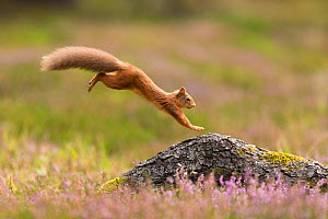 RF - Red Squirrel (Sciurus vulgaris) adult in summer coat leaping onto fallen log. Scotland, UK. September. (This image may be licensed either as rights managed or royalty free.)  -  Mark Hamblin