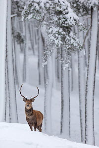 RF - Red Deer stag (Cervus elaphus) in snow-covered pine forest. Scotland, UK. December. (This image may be licensed either as rights managed or royalty free.)  -  Mark Hamblin