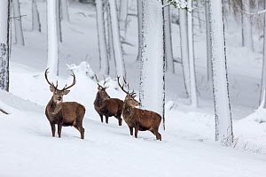 RF - Red Deer (Cervus elaphus) three stags in snow-covered pine forest. Scotland, UK. December. (This image may be licensed either as rights managed or royalty free.)  -  Mark Hamblin