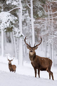 RF - Red Deer stags (Cervus elaphus) in snow-covered pine forest. Scotland, UK. December. (This image may be licensed either as rights managed or royalty free.)  -  Mark Hamblin